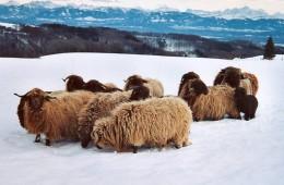 Moutons Roux-du-Valais hiver1