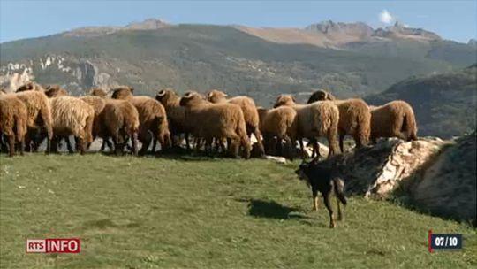 Les moutons Roux-du-Valais