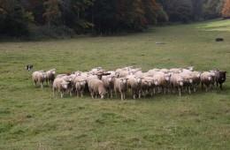 Moutons Roux-du-Valais20