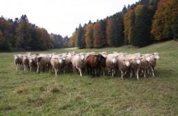 Moutons Roux-du-Valais19