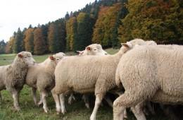 Moutons Roux-du-Valais18