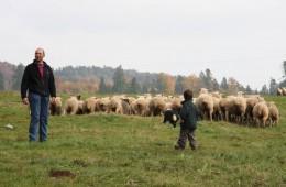Moutons Roux-du-Valais17