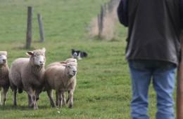 Moutons Roux-du-Valais16