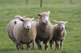 Moutons Roux-du-Valais15
