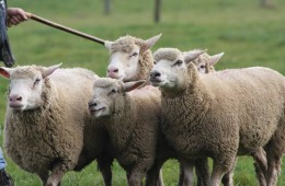 Moutons Roux-du-Valais14