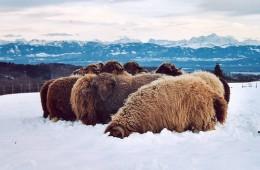 Moutons Roux-du-Valais hiver2