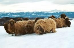 Moutons Roux-du-Valais hiver3